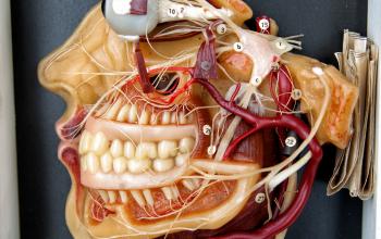 vecs zobārsta modelis
